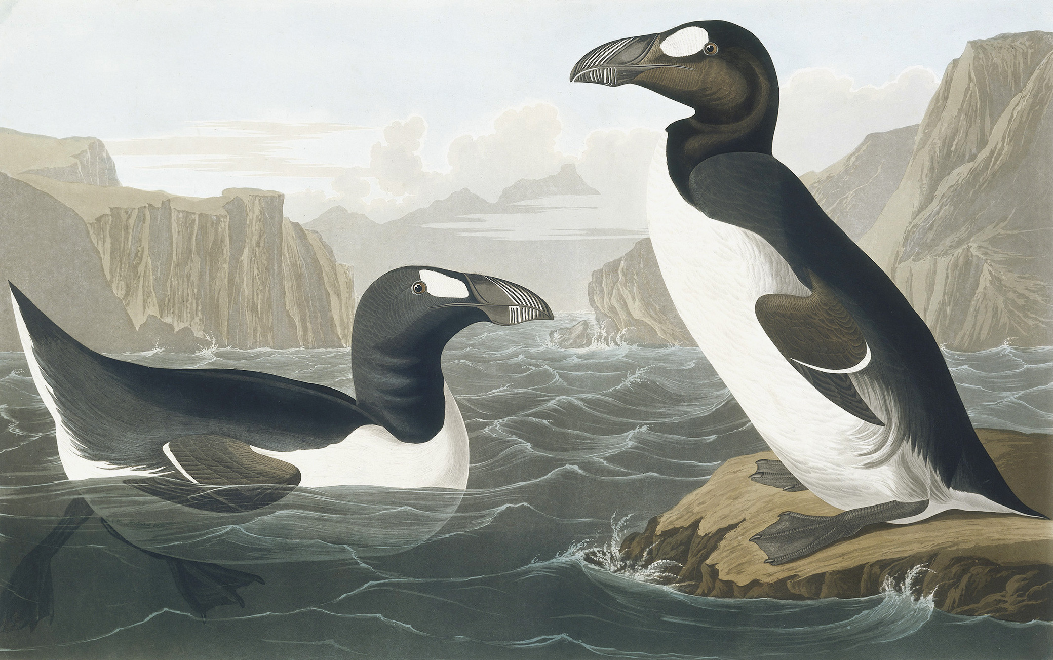 Greek Auk, Pinguinus Impennis