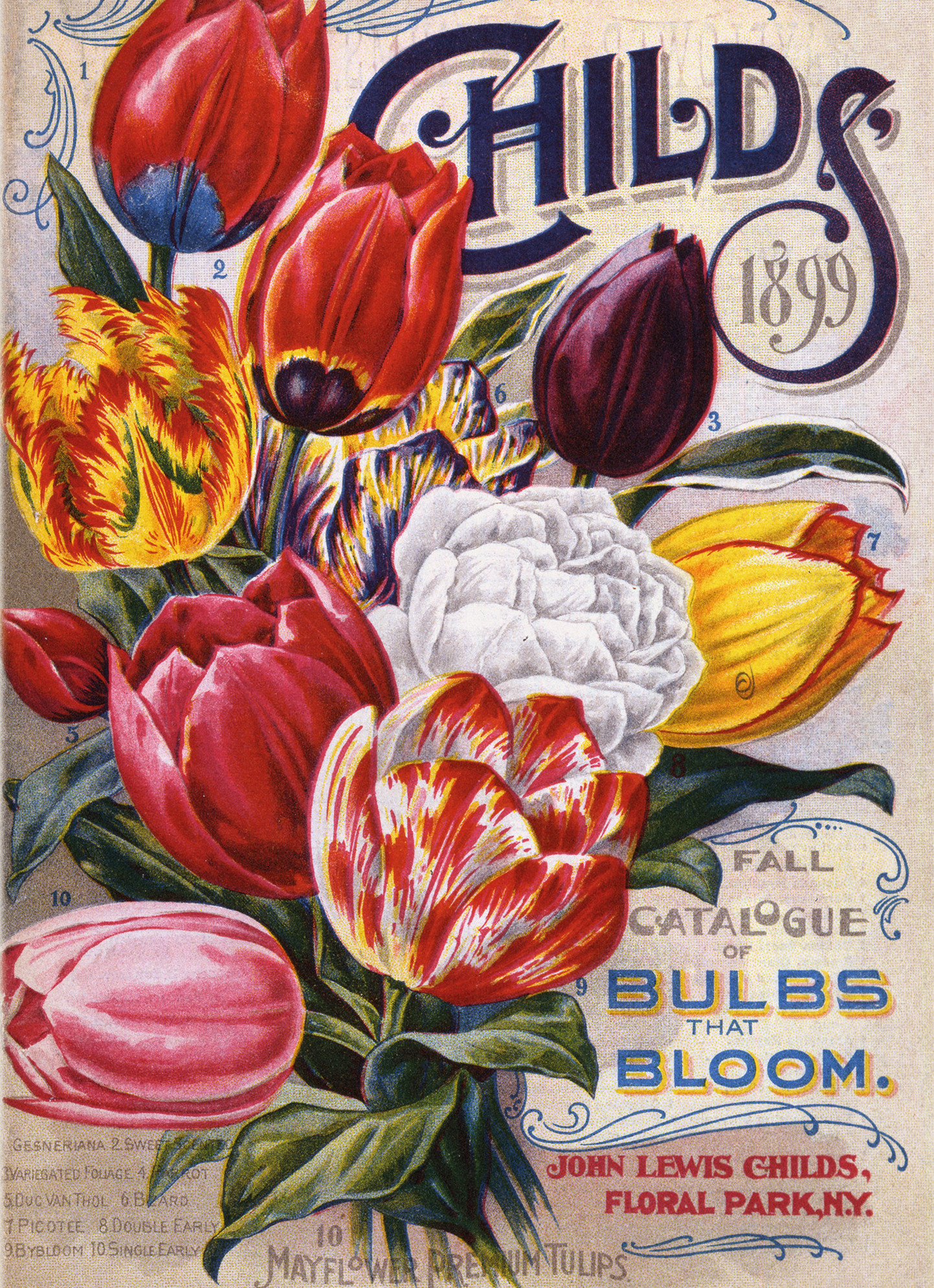 Mayflower Tulips
