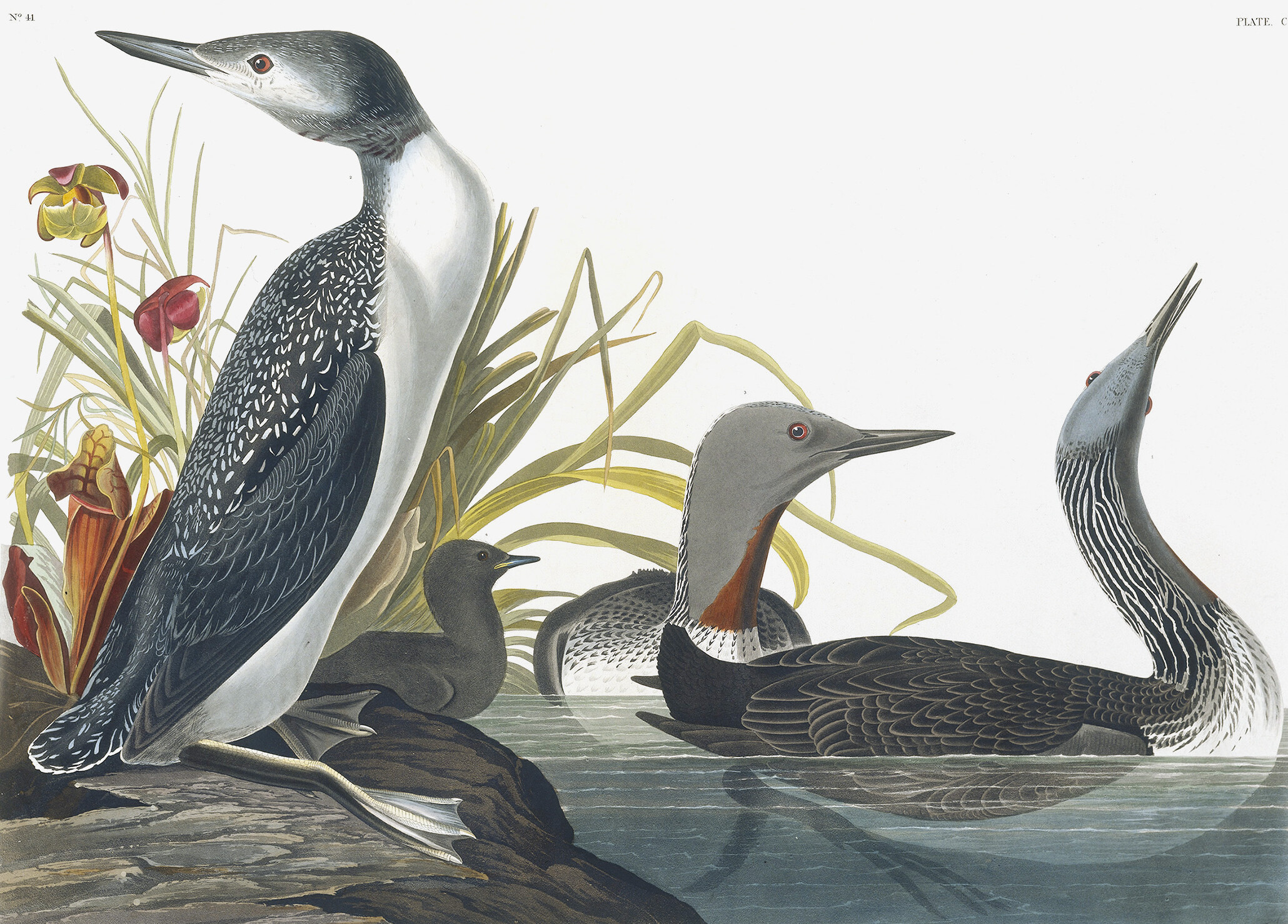 Red-throated Loon, Gavia Stellata