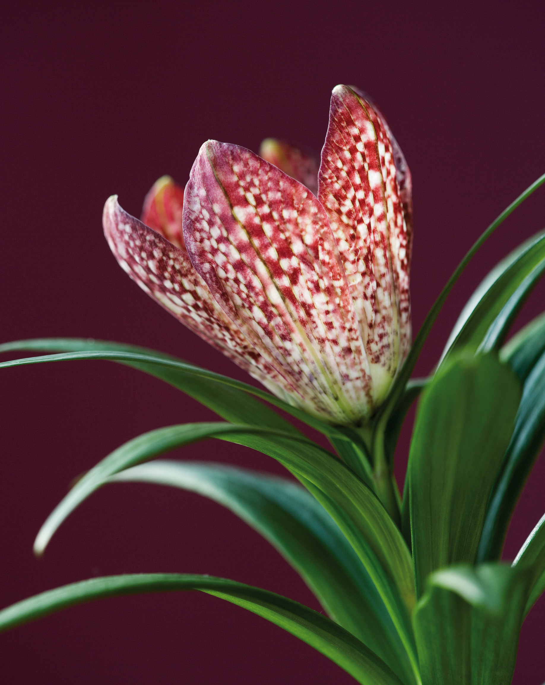 The Flower of Fritillaria