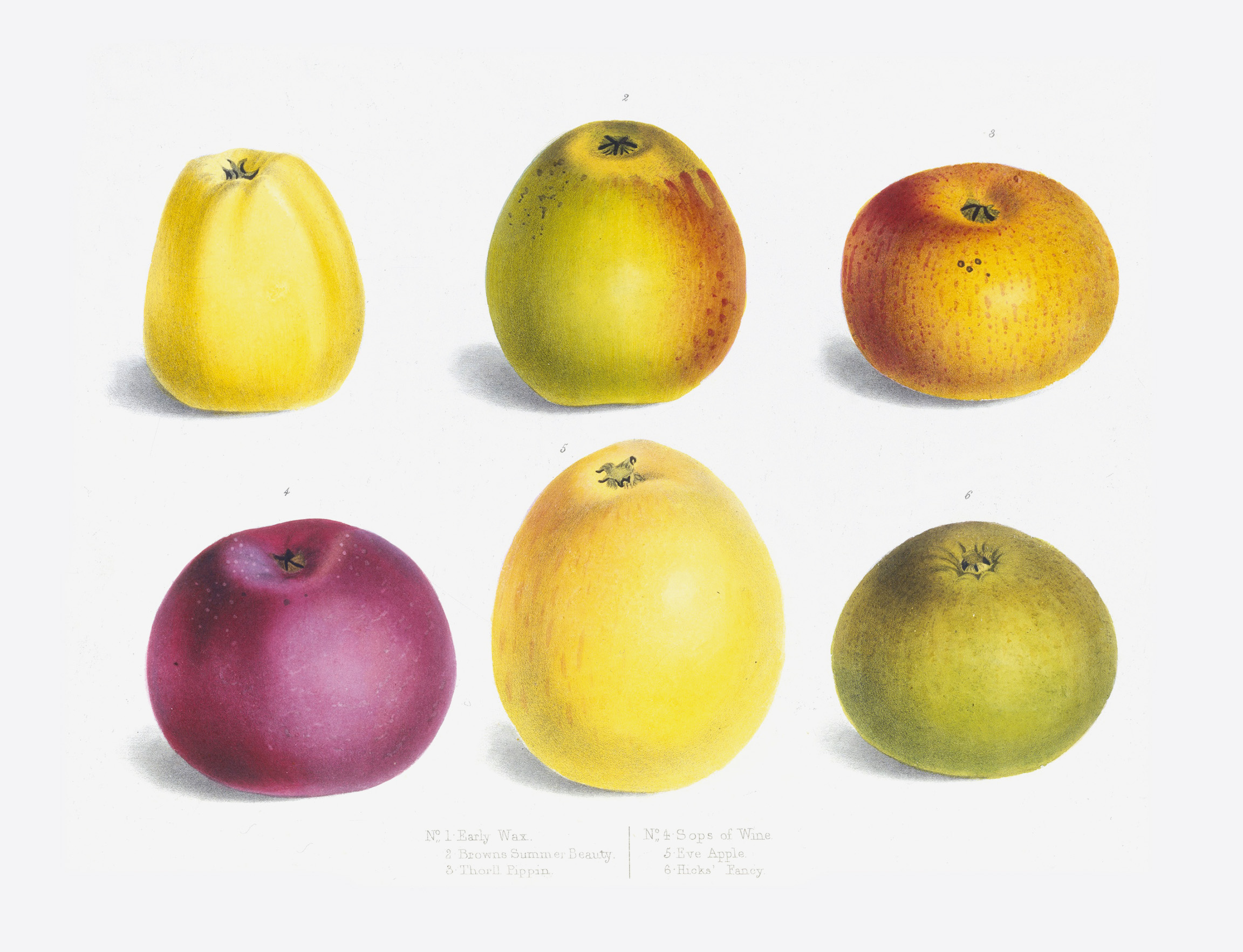 Apple 'Early wax', 'Browns Summer Beauty', 'Thorll Pippin', 'Sops of wine', 'Eve apple', 'Hicks Fancy'