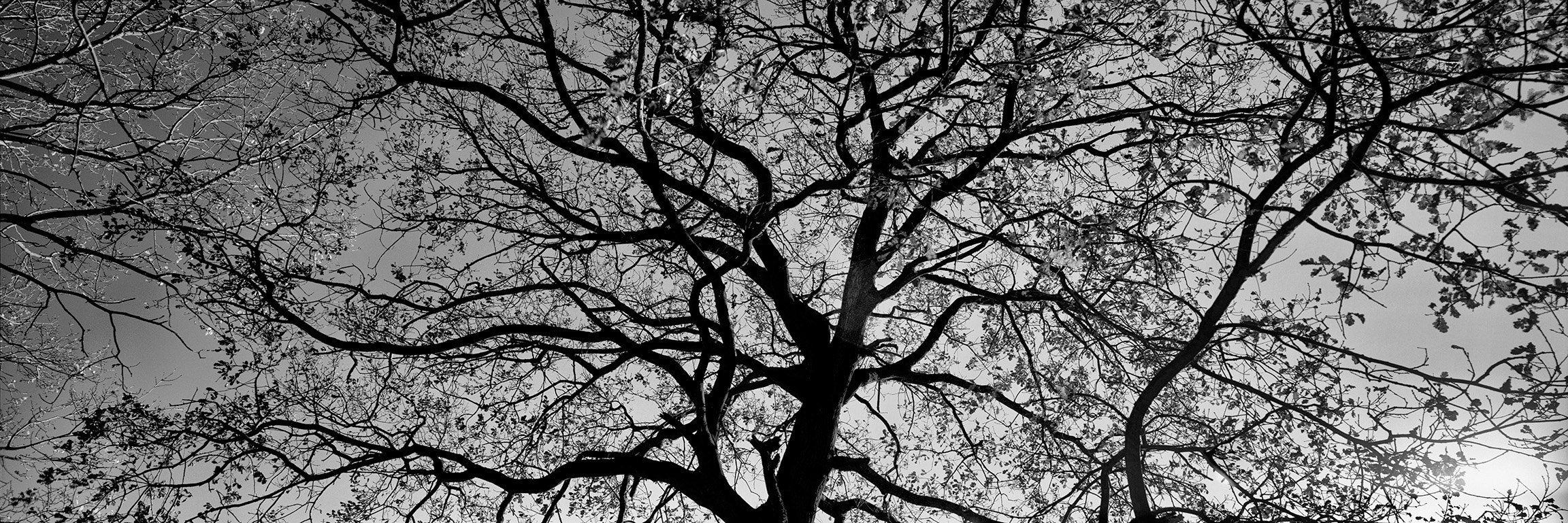 Oak Trees in Winter B&W