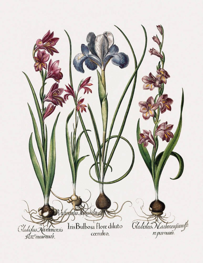 Gladiolus and Iris plants