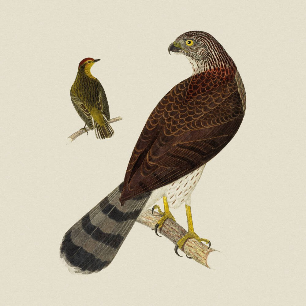 Cooper's Hawk and Palm Warbler