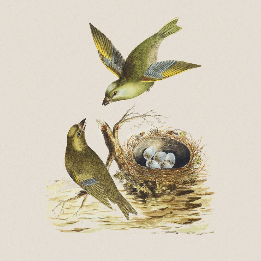 Two Greenfinches, with their nest full of eggs