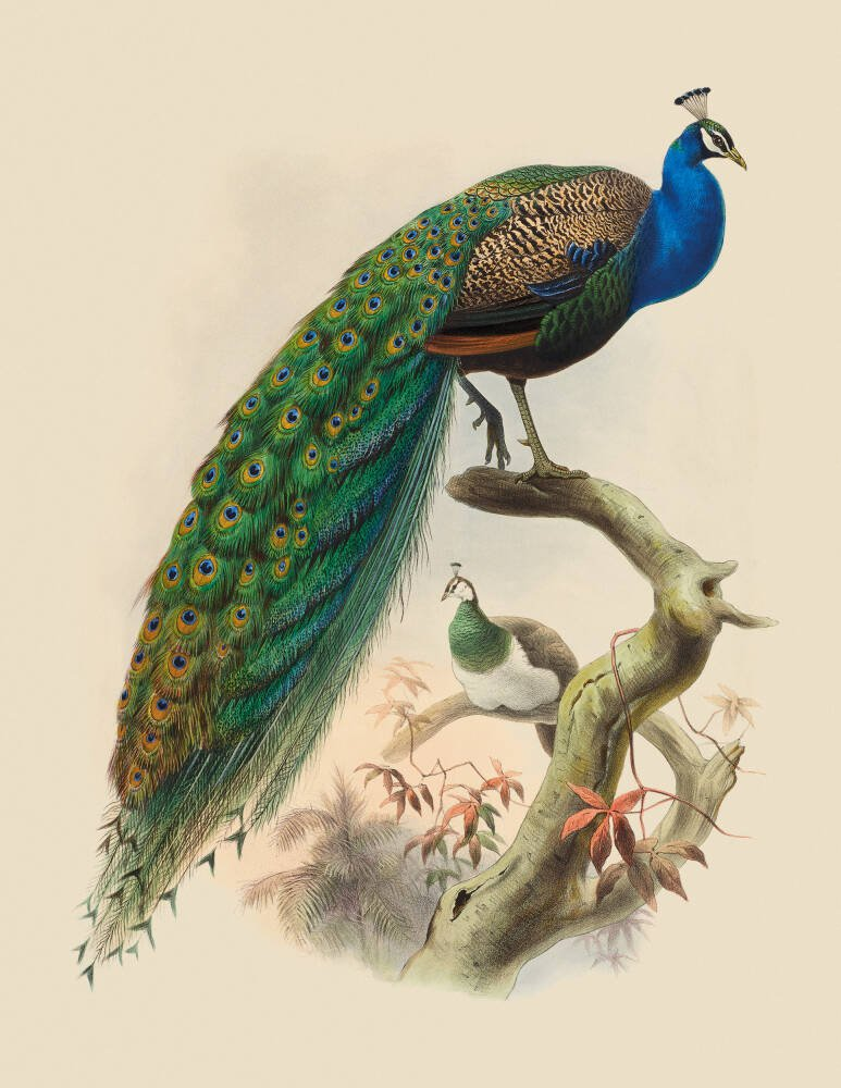 Pavo Cristatus, Common Peafowl