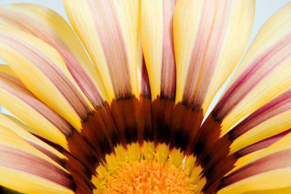 Abstract Gazania II