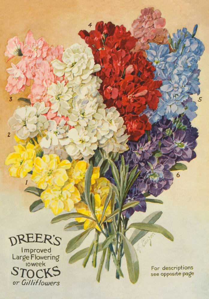Dreer's Large Flowering