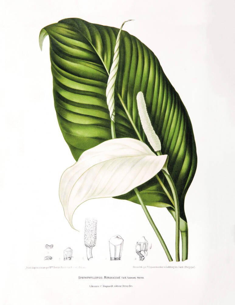 Peace Lily [Spathiphyllopsis minahassae]
