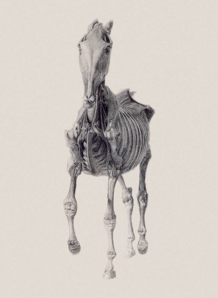 Ninth Anatomical Table of Horse Muscles