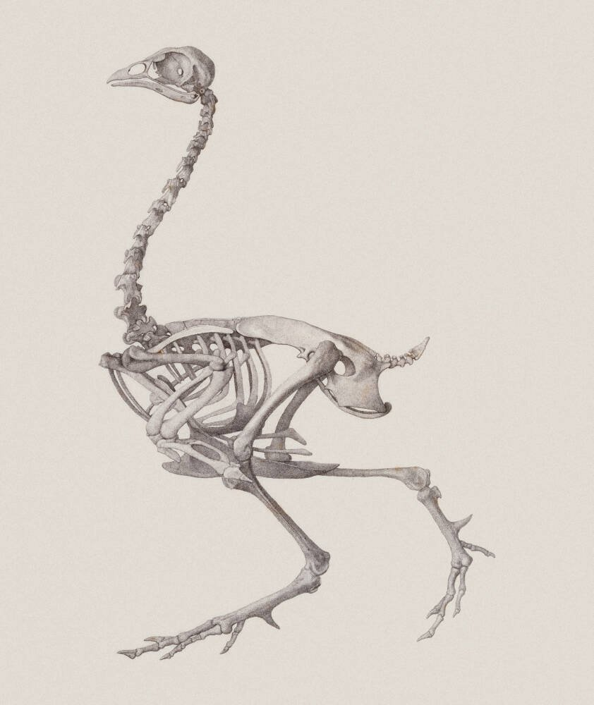 Fowl Skeleton: Lateral View