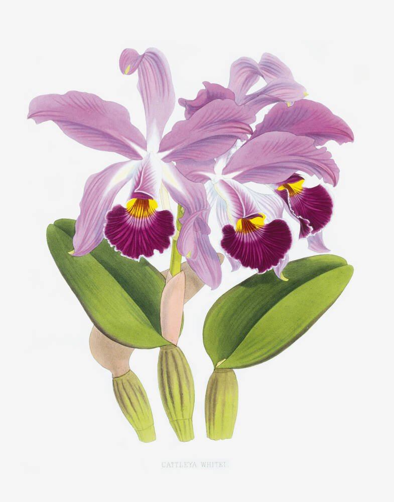 Cattleya whitei