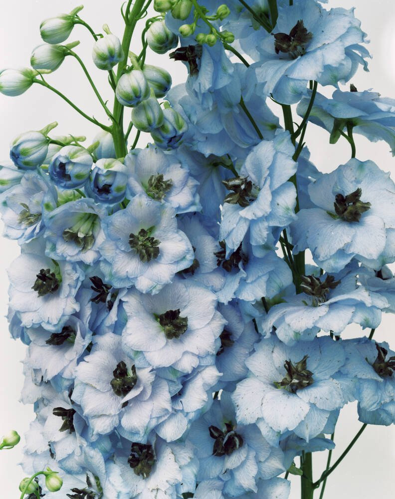 Gathered Larkspur