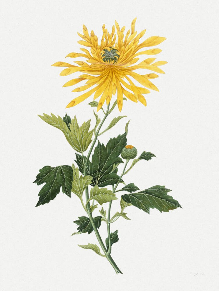Study of a Chrysanthemum