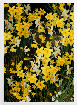 'Welsh Daffodils - Anthracite' Art Prints