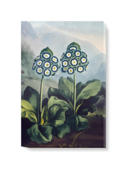 A Group of Auriculas