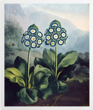 'A Group of Auriculas' Art Prints