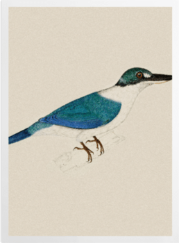 'White-Collared Kingfisher' Art Prints