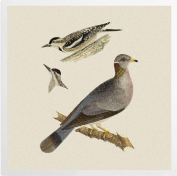 'Woodpeckers and Pigeon' Art Prints