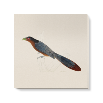 'Chestnut-Breasted Malkoha' Canvas Wall Art