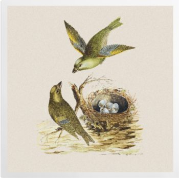 'Two Greenfinches, with their nest full of eggs' Art Prints