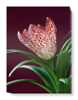 'The Flower of Fritillaria' Canvas Wall Art