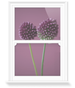 'The Purple Flowers of Allium Sphaerocephalon' Decorative Window Film
