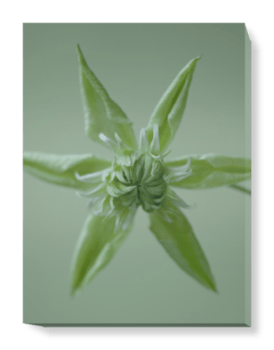 'Clematis Peppermint' Canvas Wall Art