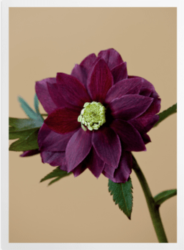 'Harvington Hellebores' Art Prints