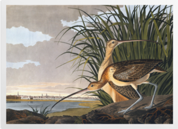 'Long-billed Curlew, Numenius americanus' Art Prints