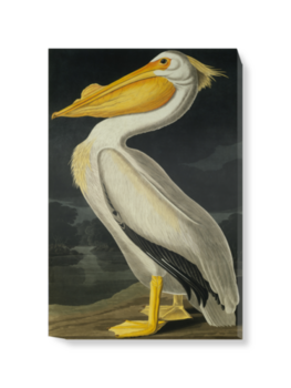 'American White Pelican, Pelecanus Erythror' Canvas Wall Art