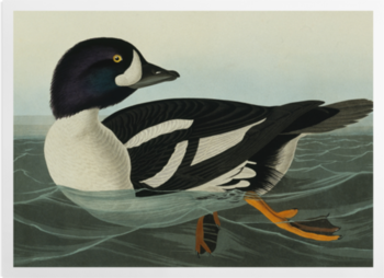 'Barrow's Goldeneye, Bucephala Islandica' Art Prints