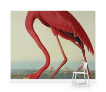 'Greater Flamingo, Phownicopterus Ruber' Wallpaper Mural