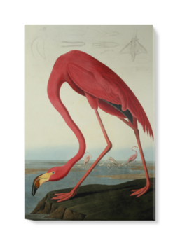 'Greater Flamingo, Phownicopterus Ruber' Canvas Wall Art