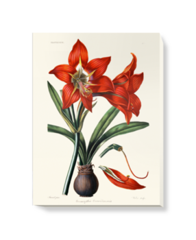 'Amaryllis Brasiliensis' Canvas Wall Art
