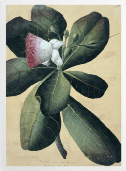 'Barringtonia Speciosa' Art Prints