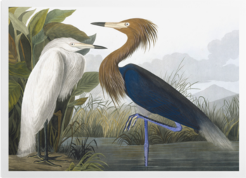 'Reddish Egret, Egretta Rufescens' Art Prints