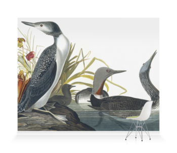 'Red-throated Loon, Gavia Stellata' Wallpaper Mural