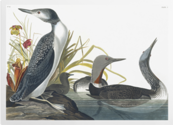 'Red-throated Loon, Gavia Stellata' Art Prints