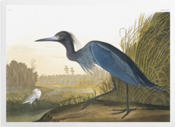 'Little Blue Heron, Egretta Caerulea' Art Prints
