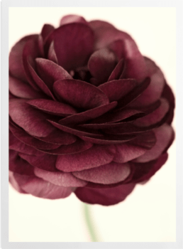 'Ranunculus III' Art Prints