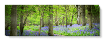 'Woodland Bluebells' Canvas Wall Art