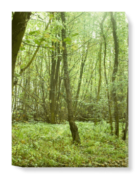 'Woodland Trees' Canvas Wall Art