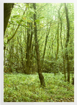 'Woodland Trees' Art Prints