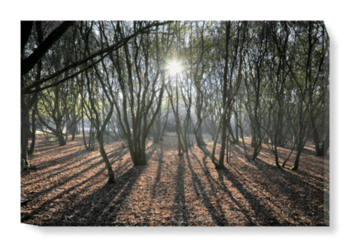 'Woodland Sunlight' Canvas Wall Art