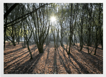 'Woodland Sunlight' Art Prints