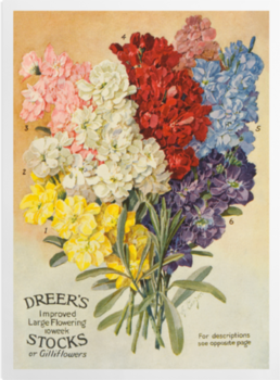 'Dreer's Large Flowering' Art Prints