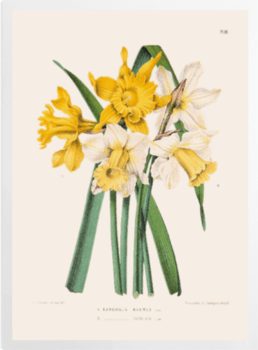 'Narcissus Maximus' Art Prints