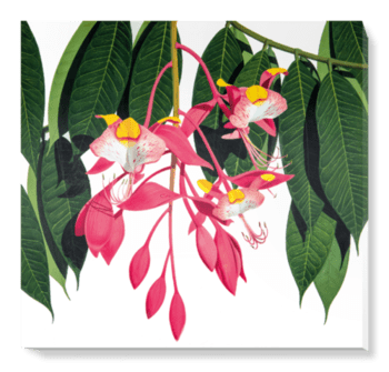 'Pride of Burma [Amherstia nobilis]' Canvas Wall Art