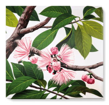 'Malay Apple [Eugenia malaccensis]' Canvas Wall Art